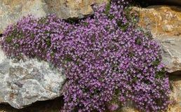 Mauve flowers Saponaria ocymoides Royalty Free Stock Photos