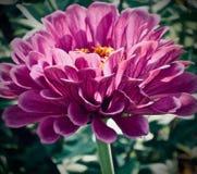 Mauve Gerbera Daisy royalty-vrije stock foto's