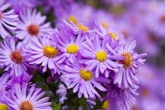 mauve härliga blommor Arkivbilder
