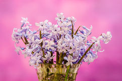 Mauve Hyacinthus orientalis flowers (common hyacinth, garden hyacinth or Dutch hyacinth) in a transparent vase, close up Stock Photos