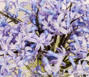 Mauve Hyacinthus orientalis flowers (common hyacinth, garden hyacinth or Dutch hyacinth) in a transparent vase, close up Stock Image
