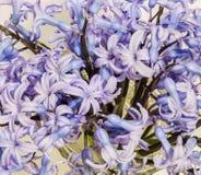 Mauve Hyacinthus orientalis flowers (common hyacinth, garden hyacinth or Dutch hyacinth) in a transparent vase, close up Stock Image