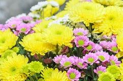 Mauve i żółci chryzantema bukieta kwiaty Fotografia Royalty Free