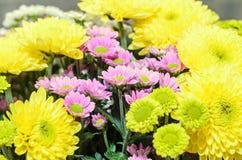 Mauve i żółci chryzantema bukieta kwiaty Zdjęcia Stock