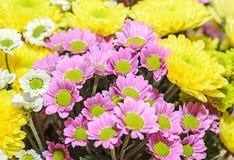 Mauve i żółci chryzantema bukieta kwiaty Zdjęcie Stock