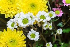 Mauve i żółci chryzantema bukieta kwiaty Obraz Stock