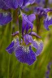 Mauve iris (Iris germanica) Stock Photography