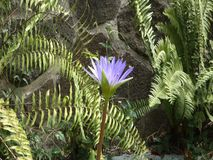 A mauve lily in a tropical fish pond. A beautiful flower growing among ferns in a garden on bequia stock video footage
