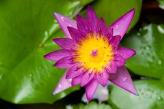 Mauve lotus flower Stock Images