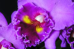 Mauve orchid close up view Royalty Free Stock Images