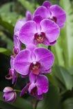 Mauve Orchideeën Stock Foto's