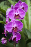 Mauve Orchids Stock Photos
