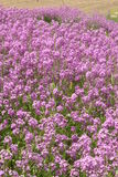 Mauve phlox growing  in garden Royalty Free Stock Photo