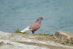 Pigeons Stock Photos