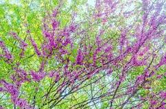 Mauve, purple Cercis siliquastrum tree flowers, commonly known as the Judas tree Stock Image