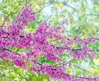 Mauve, purple Cercis siliquastrum tree flowers, commonly known as the Judas tree Stock Photos