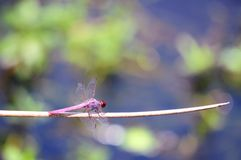 Mauve or purple dragonfly royalty free stock photos
