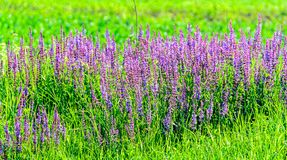 Mauve purple Lavandula angustifolia flowers in a green field Stock Images