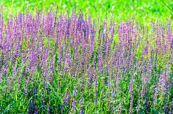 Mauve purple Lavandula angustifolia flowers in a green field Royalty Free Stock Photos