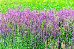 Mauve purple Lavandula angustifolia flowers in a green field Stock Photo