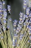 Mauve purpurowi Lavandula angustifolia kwiaty, lawenda, Zdjęcia Stock