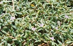 Mauve pustyni kwiaty Zdjęcia Royalty Free
