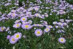 Mauve ray florets surrounding yellow disc florets of aspen fleabane. Of Erigeron speciosus Royalty Free Stock Photography
