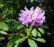 Mauve Rhododendron In Bloom In Late Spring. Mauve rhododendron with long stamens in bloom in late spring against a dark background stock image