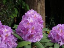 Mauve Rhododendron In Bloom In Late Spring. Mauve rhododendron with long stamens in bloom in late spring in a greenhouse royalty free stock images