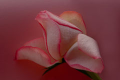 Mauve Rose. Pink rose in harmony with a mauve background Stock Photos