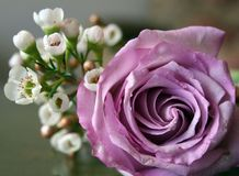 Mauve rose in bloom. Bouquet of flowers with mauve rose in foreground Royalty Free Stock Images