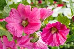 Mauve rose de floraison, hollyhocks Photos libres de droits