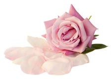 Mauve rose with petals. Isolated on white background Stock Images