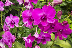 Mauve Tropical Orchid Royalty Free Stock Image
