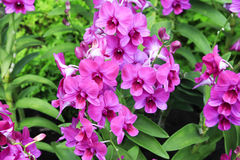 Mauve Tropical Orchid Royalty Free Stock Photos