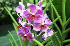 Mauve Tropical Orchid Royalty Free Stock Images