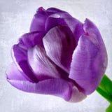 Mauve tulip Stock Images