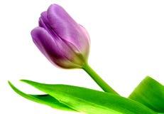 Mauve tulip Stock Photos