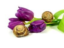 Mauve tulip Stock Photo