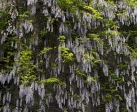 Mauve violette Wisteria-struik die bloemen, openlucht dichte omhooggaand, Fabaceae-familie beklimmen Stock Foto