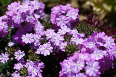 Mauve and white striped verbena flowers Royalty Free Stock Photo