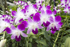 Mauve and white Tropical Orchid Stock Image