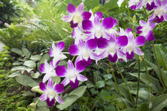 Mauve and White Tropical Orchid Stock Images