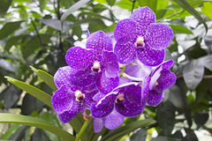 Mauve and White Tropical Orchid Stock Photography