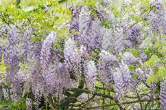 Mauve Wisteria sinensis (Chinese wisteria), Glicina tree flowers, close up Stock Images