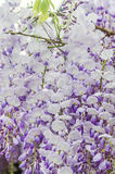 Mauve Wisteria sinensis (Chinese wisteria), Glicina tree flowers, close up Stock Photography