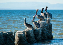 Maverick pelican. A maverick pelican took in salton sea california Royalty Free Stock Image