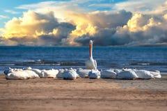 Maverick Pelican mientras que descansa sobre la arena en la puesta del sol una se levanta fotos de archivo libres de regalías