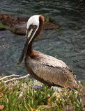 Maverick pelican Stock Images