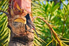 Mavis, πουλί Bulbul στο φοίνικα ημερομηνίας στοκ φωτογραφίες με δικαίωμα ελεύθερης χρήσης